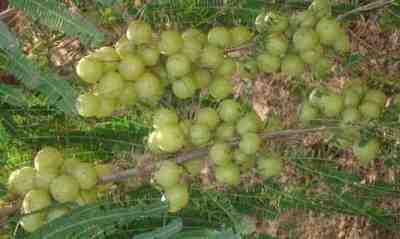 Buah Malaka atau Kemloko (Phyllanthus emblica)