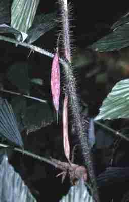 Palem jawa (Ceratolobus glaucescens)