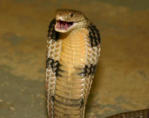 Ular King Kobra (Ophiophagus hannah)
