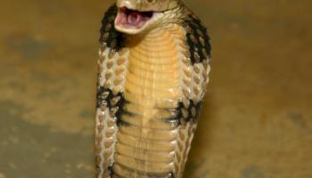Ular Kawat Ramphotyphlops Braminus Ular Terkecil Alamendah S Blog