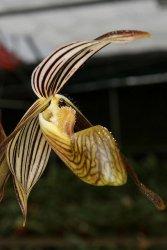 Bunga anggrek kantung kolopaking