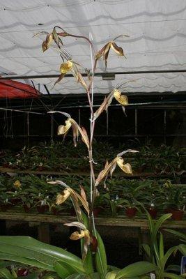 Anggrek Paphiopedilum kolopakingii