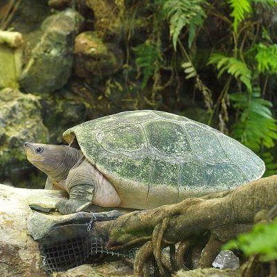 Tuntong Laut (Batagur borneoensis)
