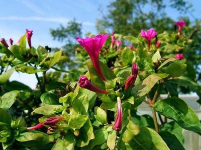 Bunga ashar atau kembang pukul empat