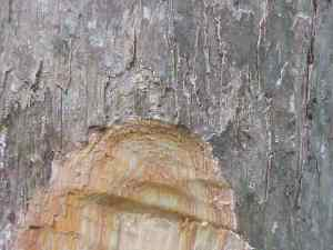 Batang pohon gofasa (Vitex cofassus)