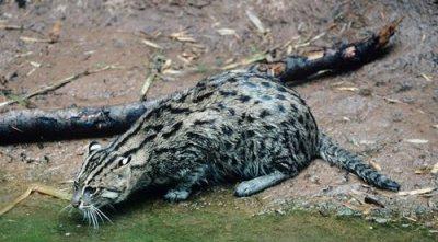 Kucing bakau mengincar mangsa