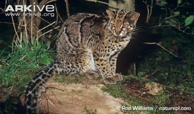 Kucing Batu atau Marbled Cat