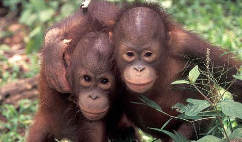 gambar Macam-macam Hewan Langka Orangutan Kalimantan