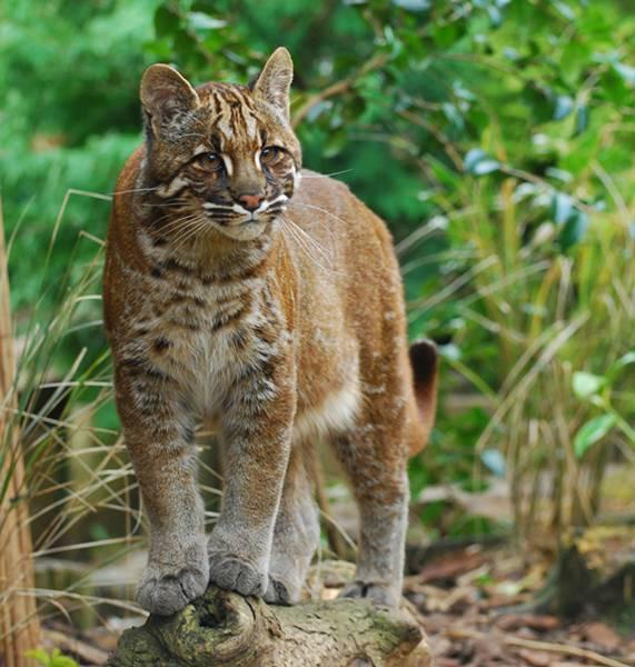 Kucing Emas atau Asiatic Golden Cat