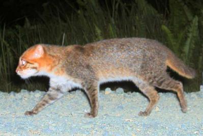 Kucing Hutan atau Flat-headed Cat