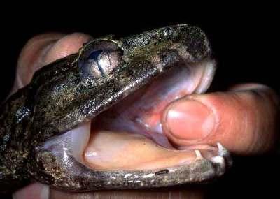 Katak bertaring dari Sulawesi