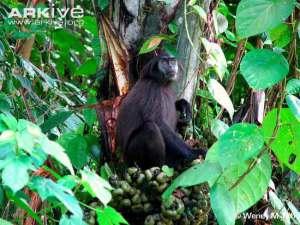 Monyet ekor babi (Simias concolor)
