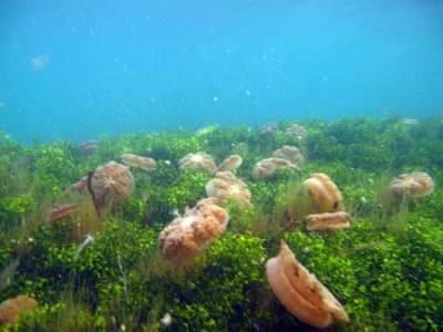 Ubur-ubur terbalik (Cassiopea ordata)