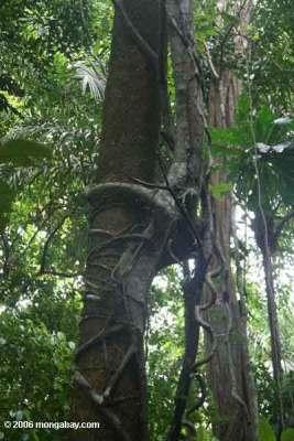 Ara pencekik (Ficus annulata)