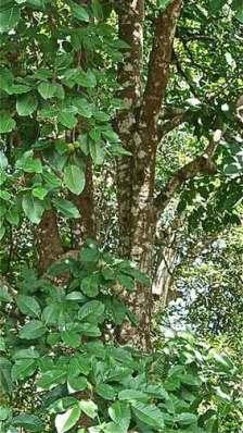 Pohon kecapi atau pohon sentul