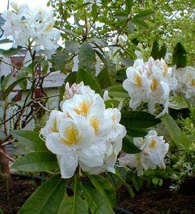 Bunga Rhododendron album