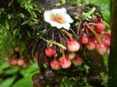 Schefflera fastigiata