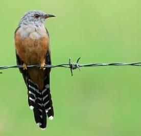 Burung wiwik kelabu atau kedasih