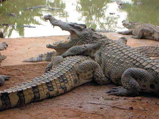 Buaya Siam Crocodylus Siamensis Semakin Langka Alamendahs Blog