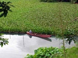 Danau Rawapening dipenuhi eceng gondok