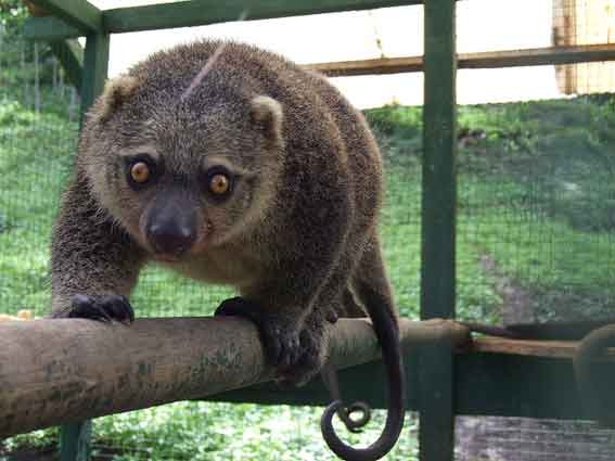 Kuskus Beruang Sulawesi