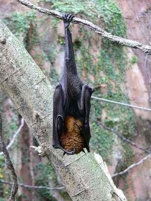 Pteropus vampyrus