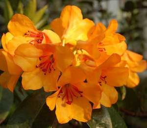 Bunga Rhododendron javanicum
