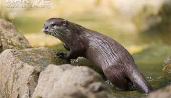 Musang Air Cynogale Bennettii Binatang Semi Akuatik Alamendah S Blog