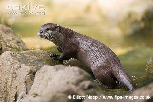 Aonyx cinerea atau Berang-berang cakar kecil (Asian Small-clawed Otter)