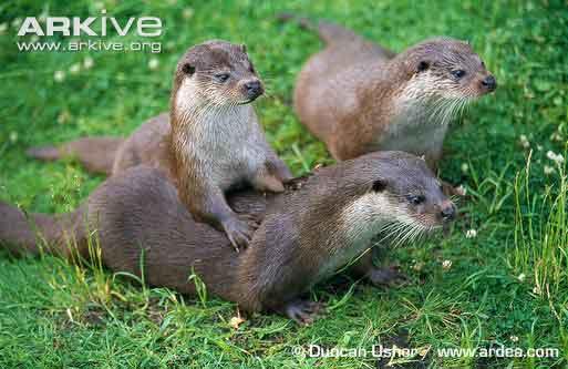 Lutra lutra atau berang-berang utara (Common Otter)