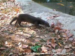 Lutra sumatrana atau Berang-berang hidung berbulu (Hairy-nosed Otter)