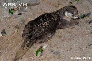 Lutrogale perspicillata atau Berang-berang bulu licin (Smooth-coated Otter)