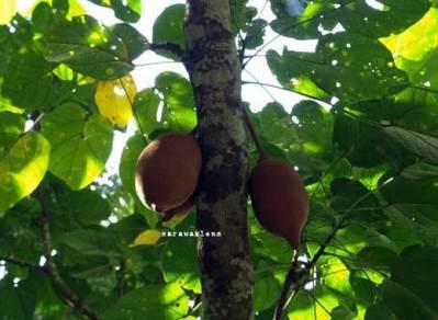Pohon dan buah kepayang (Pangium edule)