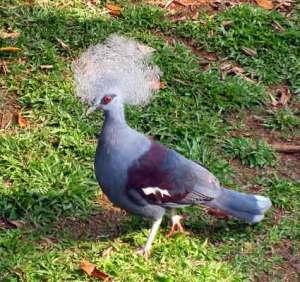 Burung Mabruk Ubiaat (Gaura cristata)