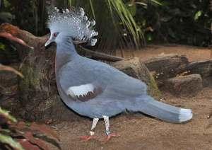 Burung Mabruk Si Dara Mahkota | Alamendah's Blog