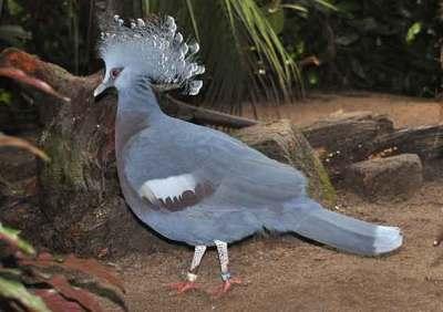 Burung Mabruk Victoria (Goura victoria)