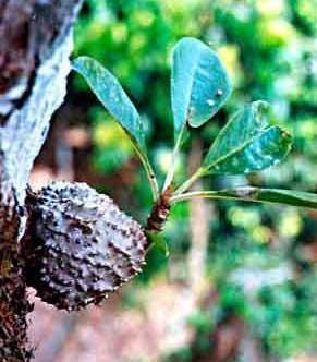 Sarang semut (Myrmecodia tuberosa)
