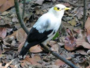 Burung jalak putih