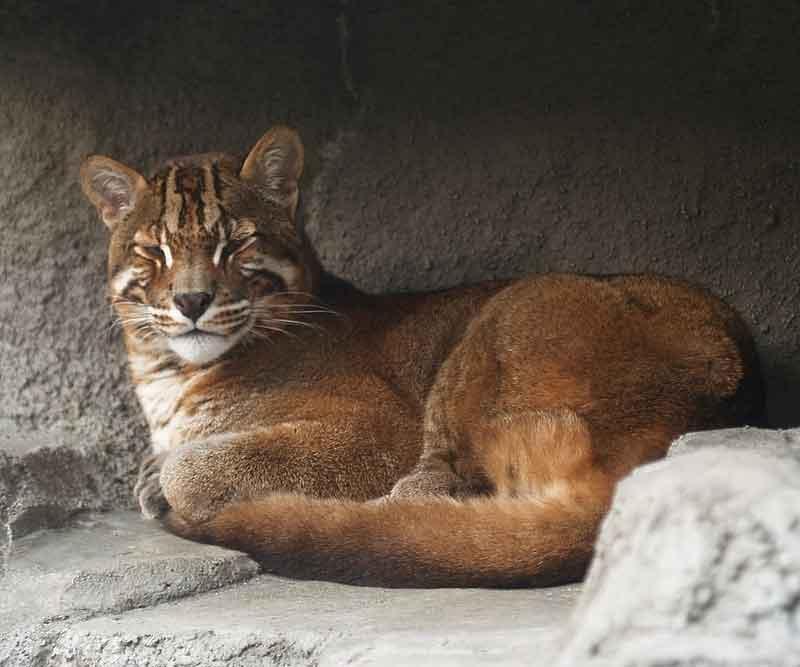 Kucing emas ( pardofelis temminckii ) adalah kucing misterius dan
