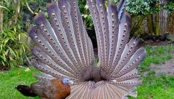 Wiwik Kelabu Kedasih Burung Parasit Burung Kematian Alamendah S Blog