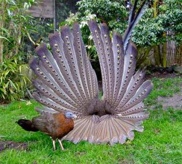 Burung kuau raja atau kuau besar