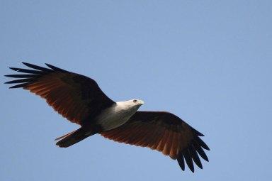 Elang Bondol Terbang