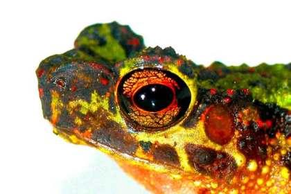 Katak Pelangi Kalimantan