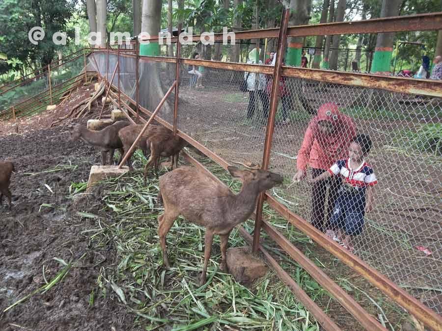 Rusa koleksi Kebun Binatang Mini TPA Pati