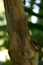 Kayu (batang) dewandaru (Eugenia uniflora)