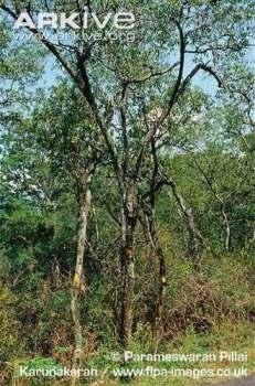 Pohon Cendana (Santalum album)