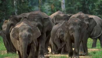 Gajah Sumatera Sehari Makan 150 Kg Alamendah S Blog