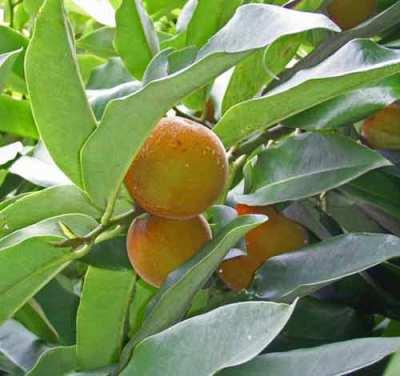 Pohon dan Buah Bisbul (Diospyros discolor Willd.) Yang Dilupakan