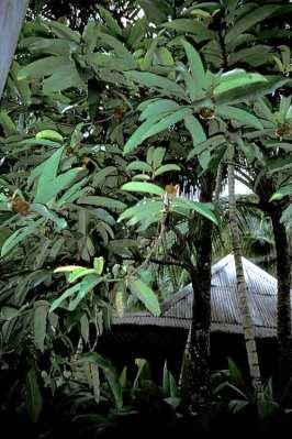 Pohon Bisbul