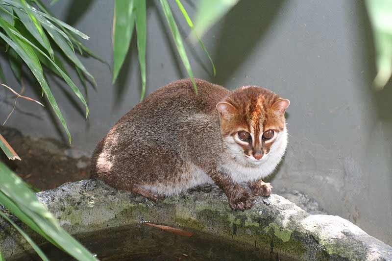 Kucing dak atau kucing hutan kepala datar jago berenang